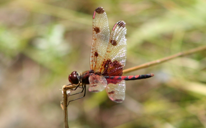 Dragonfly_ran-1015_Celithemis_elisa