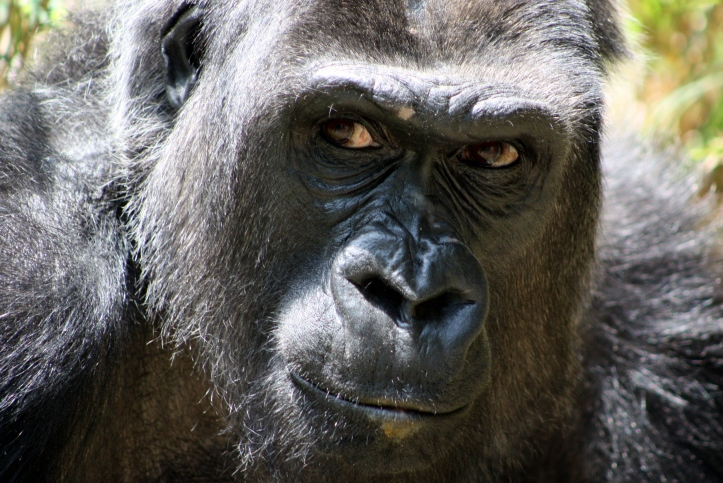 Gorilla_in_Duisburg_Zoo,_Germany_-_20100615