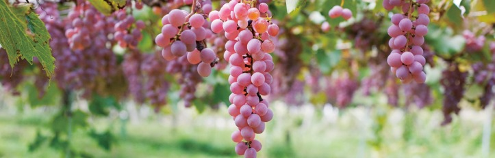 sakura_koshu_grape_uva